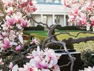 La magnolia ha estado en el jardín de la Casa Blanca desde hace casi 200 años.