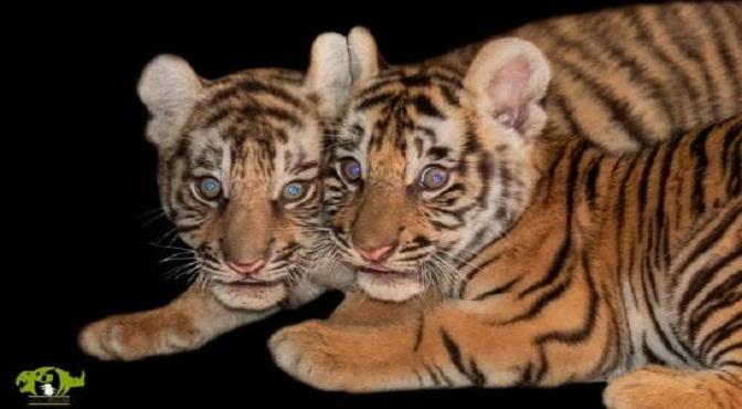 Las primeras fotos de los nuevos tigres dominicanos