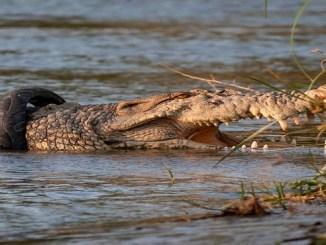 El cocodrilo de agua salada de casi cuatro metros se encuentra en el río Palu