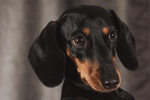 Choosing the Best Dog Breed For Your Situation: Three Breeds to Consider