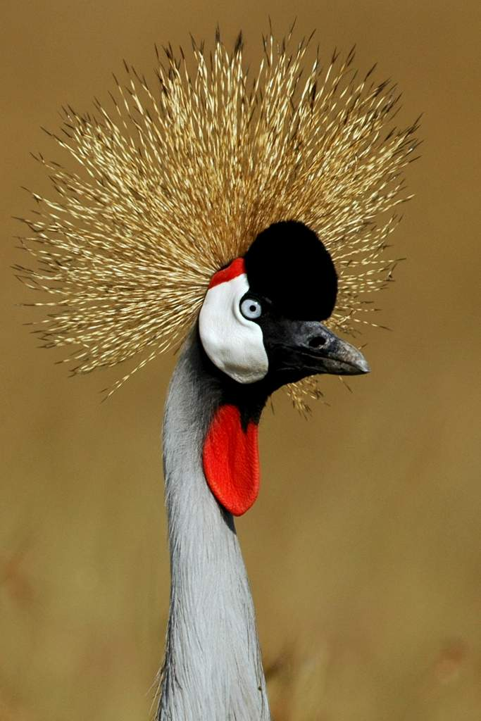 Cute Feather Wallpaper Crowned Crane Michael Despines Photography