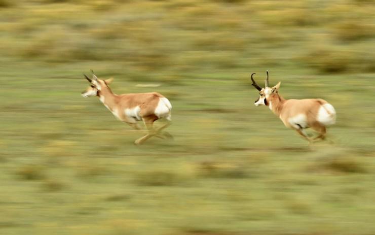 Резултат со слика за pronghorn antilope speed