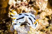 nudibranch-bunaken-sp-chromodoris-су-авеси-ин-онезии-по-во-ное-фото-56406025