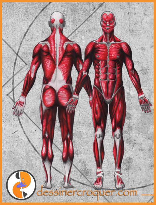 Muscles-Homme-Écorchée