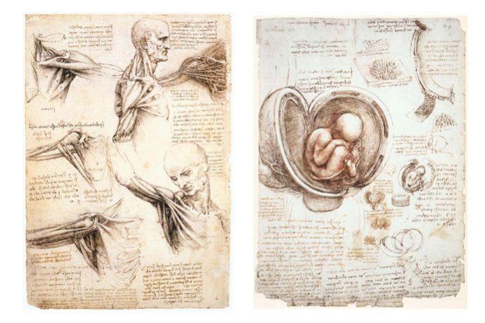 A gauche : Études anatomiques de la musculature de l'épaule, du cou et du thorax, vers 1509-1510, plume et lavis brun sur pierre noire, 28,9 x 19,8 cm, Windsor Castle, Royal Library. A droite : Étude anatomique du foetus dans l'utérus, vers 1510, plume, lavis brun et craie rouge, 30,4 x 22 cm, Windsor Castle, Royal Library.