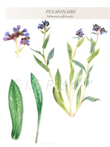 plante comestible