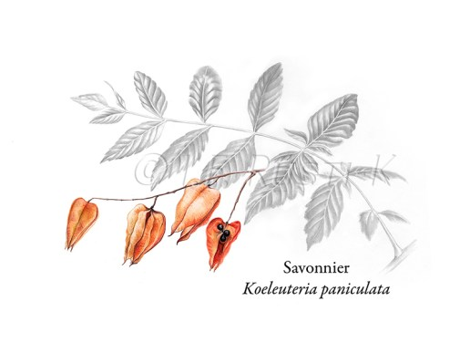 savonnier