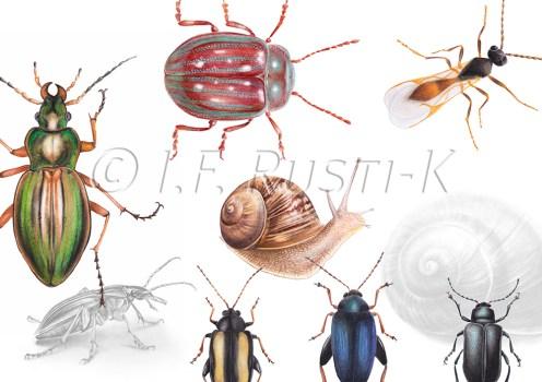 dessins, attise, escargot, carabe, chrysomèle, aphidius