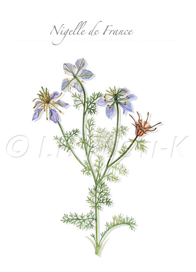 plante messicole; renonculacées