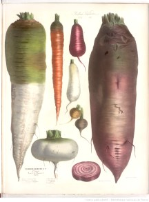 illustration de legumes racines