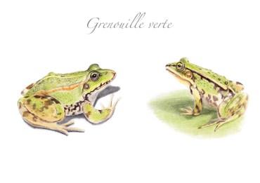 animaux de la mare - grenouille verte