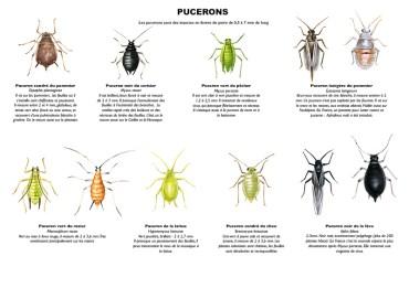 différentes espèces de pucerons