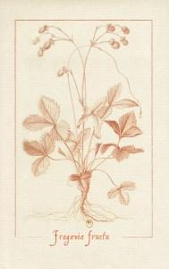 dessin à la sanguine d'un plant de fraisier