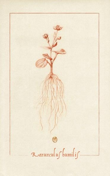 dessin à la sanguine d'une renoncule