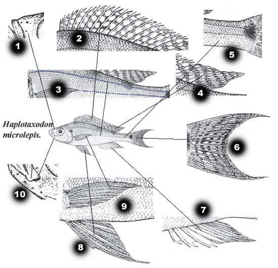 Caractéristiques d'un cichlidae | anatomie des cichlides (Haplotaxodon microlepis) .
