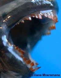 Dentition Spathodus.