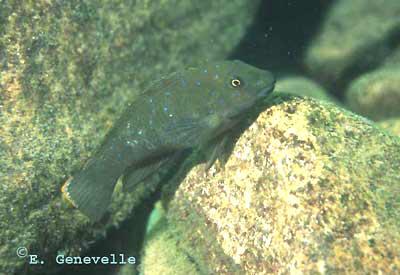 Eretmodus cyanostictus (Zambie).