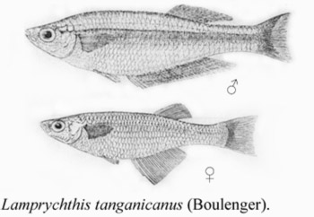 Lamprichthys description.