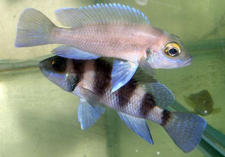 Neolamprologus tretocephalus, individus dominant et dominé.