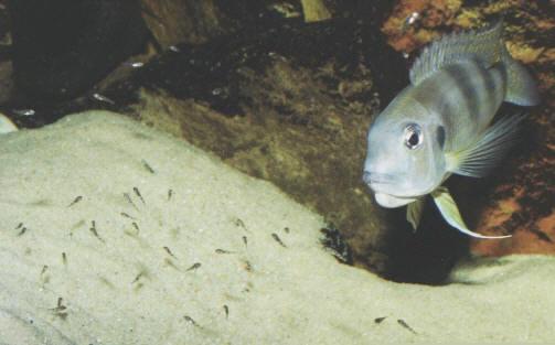 Surveillance des alevins par Limnochromis auritus.