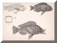 Représentation d'après nature de Tropheus moorii et Lobochilotes labiatus.