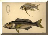 Cyathopharynx furcifer, Bathybates ferox.