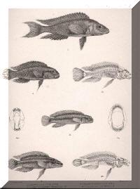 Planches de descriptions de : Neolamprologus furcifer, Telmatochromis vittatus, Telmatochromis temporalis, Julidochromis ornatus