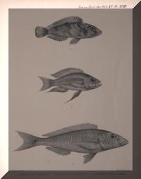 Neolamprologus lemairii, Aulonocranus dewindti, Grammatotria lemairii