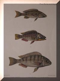 Boulengerochromis microlepis, Haplochromis horei, Limnotilpia dardennii