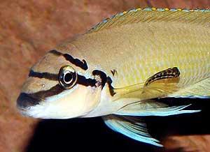 Chalinochromis brichardi mâle et alevin.
