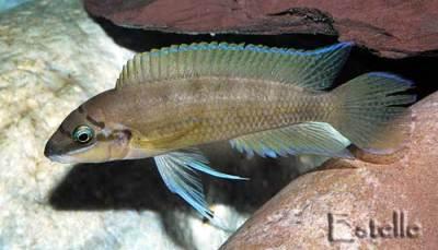 Chalinochromis brichardi en robe de stress.