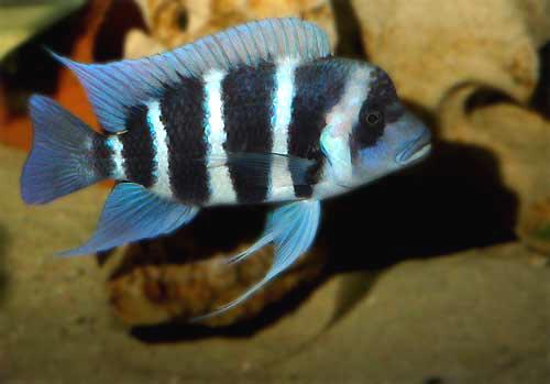 Cyphotilapia gibberosa en aquarium | cichlidé du lac Tanganyika.