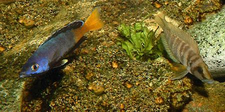Cyprichromis sp. jumbo et Altolamprologus calvus.