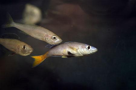 Cyprichromis leptosoma, coupole copulant dans un aqurium de cichlidés du lac Tanganyika.