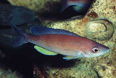 Cyprichromis pavo.