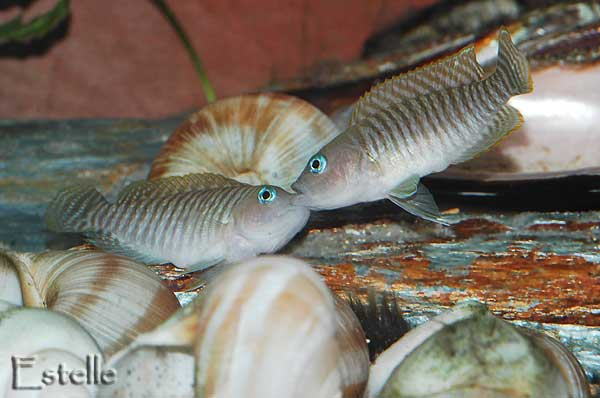Combat mâles Neolamprologus multifasciatus