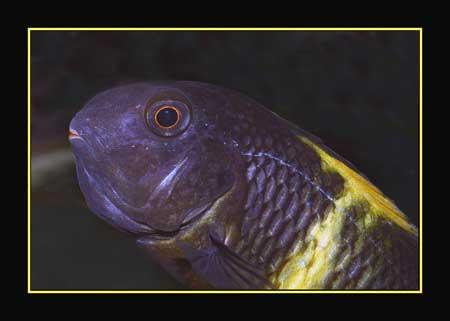 Femelle Tropheus sp. kiriza en incubation
