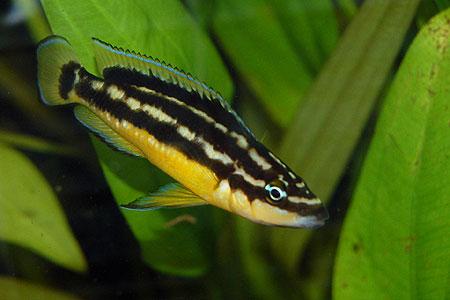 Julidochromis sp. Korosha, mâle dans un aquarium.