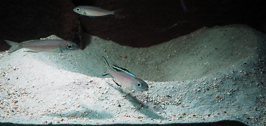 Lestradea perspicax, mâles et femelle sur le site de ponte.