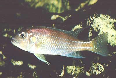 Cichlidé du lac Tanganyika | Limnochromis auritus.