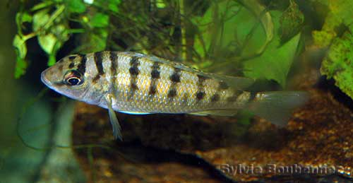 Limnotilapia dardennii (femelle en aquarium).