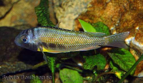 Limnotilapia dardennii (male en aquarium).