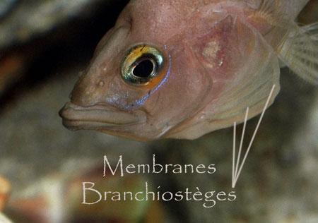 Neolamprologus prochilus, membranes branchiostèges.