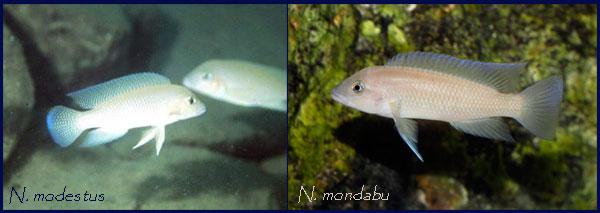 Comparaison entre Neolamprologus modestus et Neolamprologus mondabu.