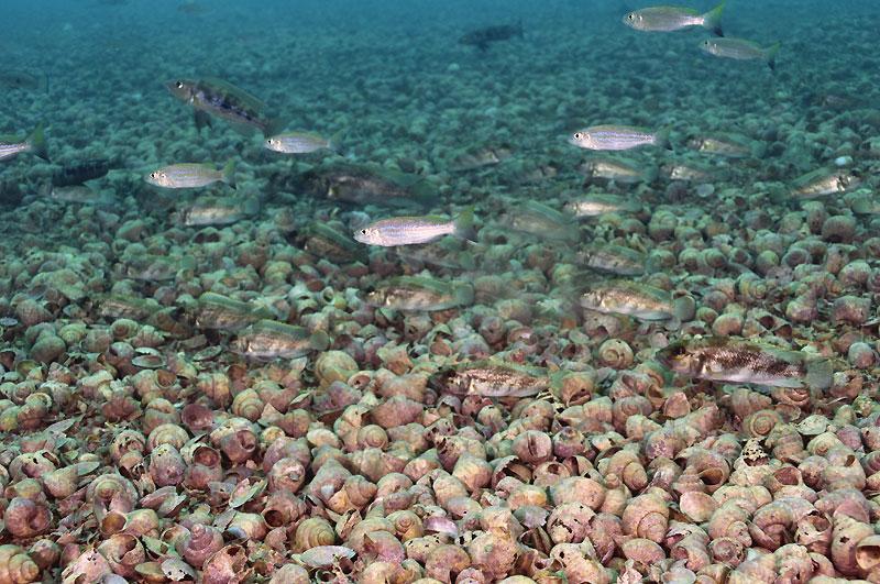 Perissodus microlepis, Lepidiolamprologus attenuatus, Neolamprologus lemairii, à Slaf rock.