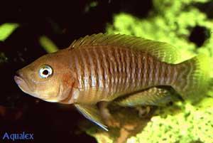 Gros male Neolamprologus multifasciatus.
