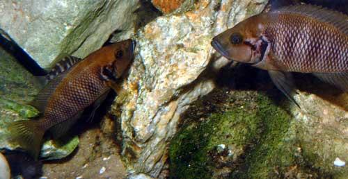 Neolamprologus savoryi, couple en aquarium.
