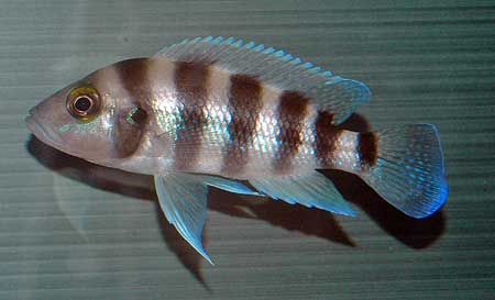 Neolamprologus sexfasciatus de Zambie (bleu).