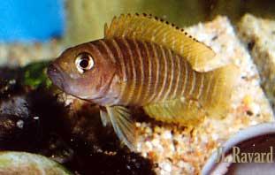 Neolamprologus similis, au dessus de ses coquilles.