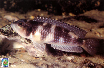 Neolamprologus stappersii (meleagris).